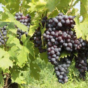raisins-pinot (2)