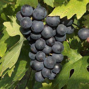 raisins-pinot (3)