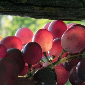 raisins-poulsard