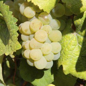 raisins-savagnin (4)