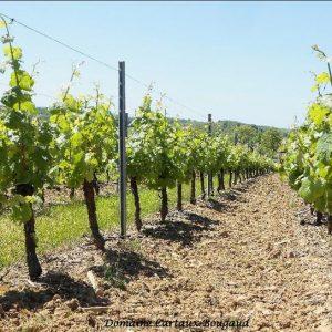 vigne-trousseau (2)